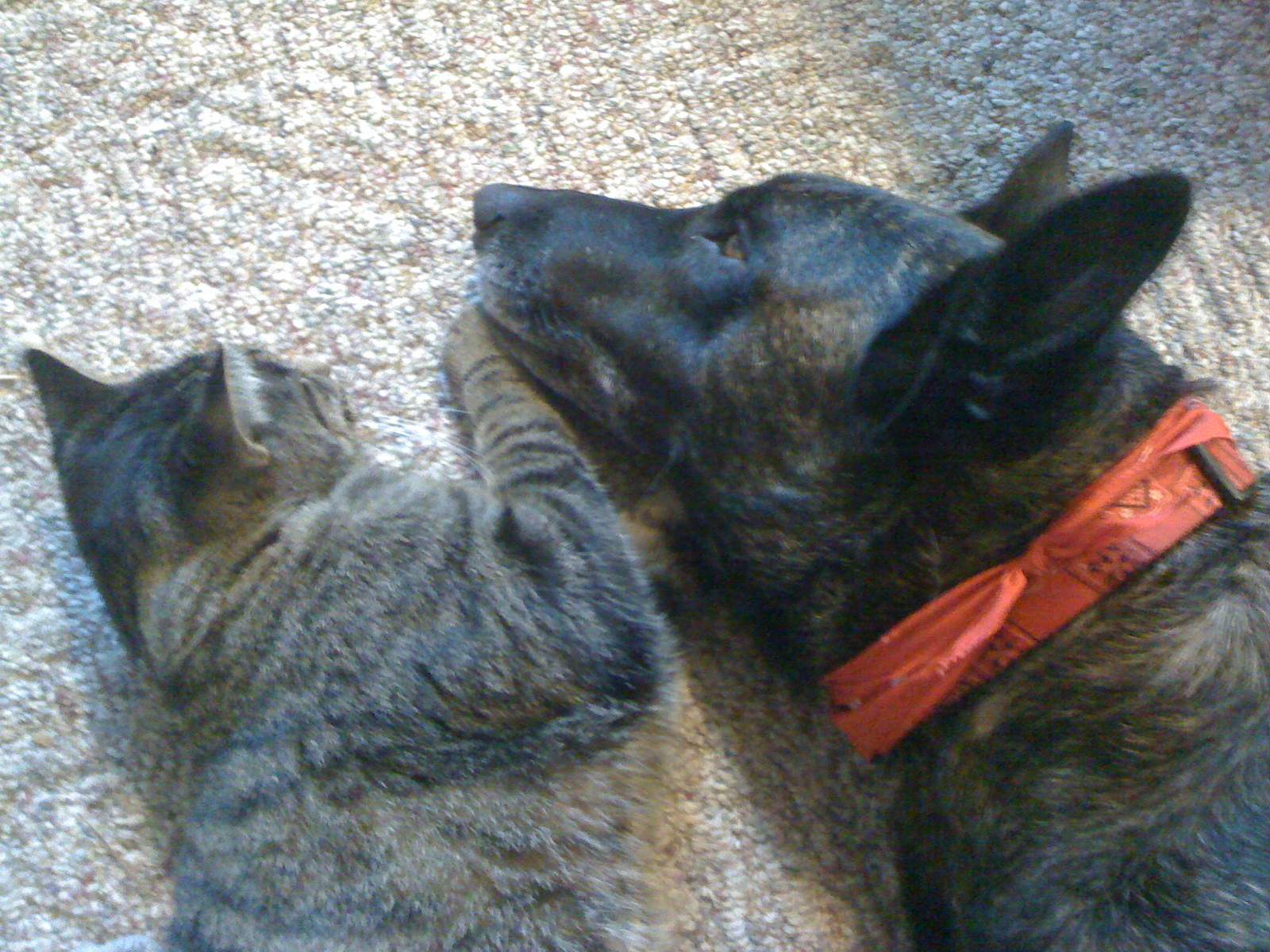 Buttercup the Dutch Shepherd with Tiger, photo by Kyle Rives