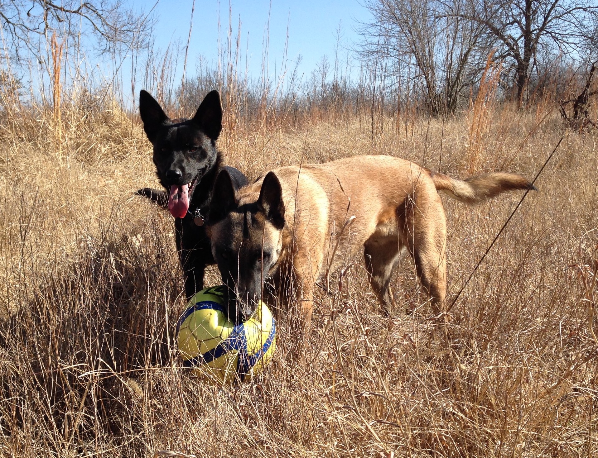 Ricochet, Dutch Shepherd Cross and Rocket Belgain Malinois, photo by Kyle Rives