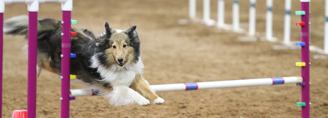 Kenzie competing at the 2013 AKC Agility Nationals in Tulsa